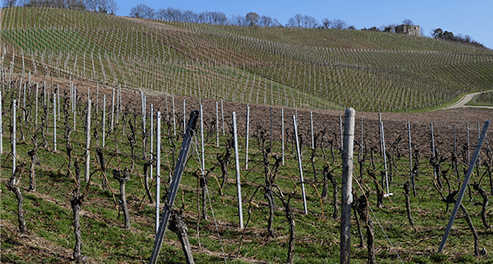 Vineyards in Stuttgart